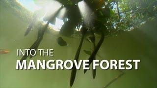 Into the Mangrove Forest | UnderH2O | PBS Digital Studios