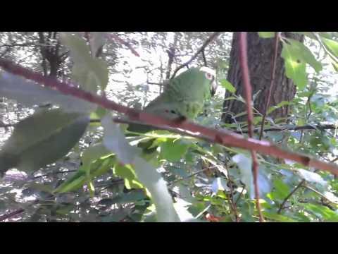 CYRA mijn amazone papegaai gaat wandelen in het bos.