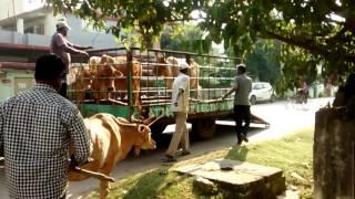 Stray cattle menace at Rourkela,Odisha