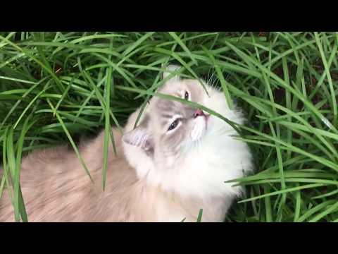 Ragdoll Cats Chiggy and Charlie Outside June 2018 - ねこ - ラグドール - = ネコ - Floppycats