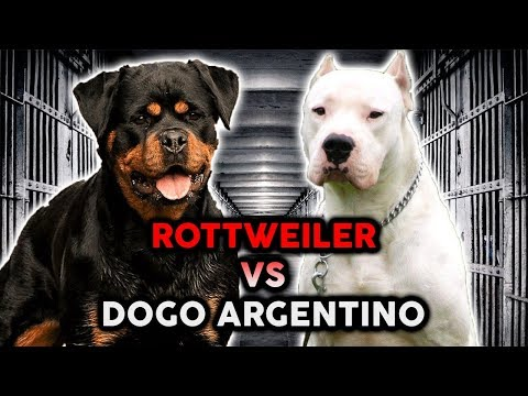 ROTTWEILER VS DOGO ARGENTINO! The Best Guard Dog Breed!