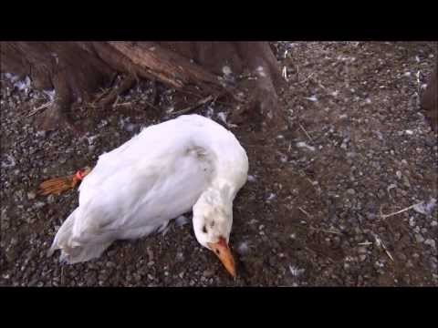 how to kill a duck video