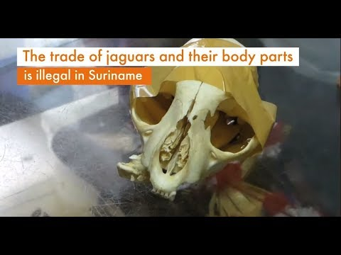 Wild jaguars cruelly poached in Suriname