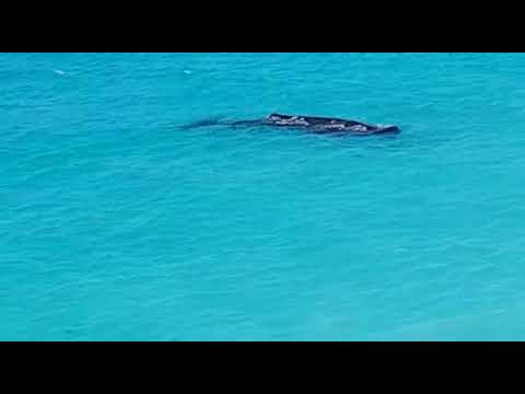 Must watch! Whale found in the caribbean antigua and barbuda . Darkwood beach