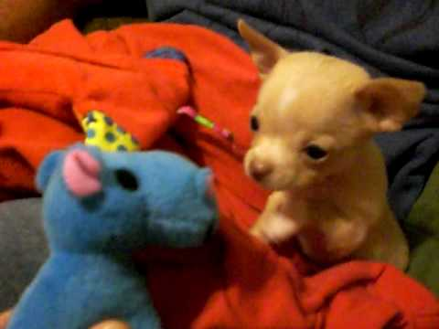 Baby Chihuahua Puppy Finds A Friend: Boomer & His Blue Hippo