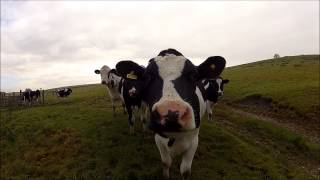 Cow trying to eat my GoPro