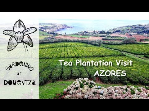 Tea Plantation in Europe !?!