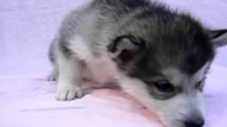 生後1ヶ月 アラスカン・マラミュートの仔犬です 愛犬ハウスセキノ.
