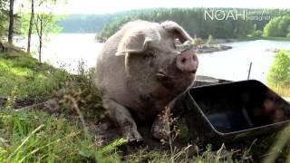 Til minne om grisen Noah