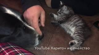 Огромные алабаи и крохотный котенок