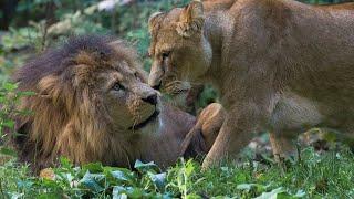 Leeuwinnen komen en gaan | Burgers