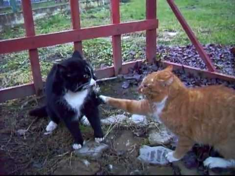 Combats de chat sexuel