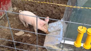 Brower Hog Feeder And Our Little Piggies