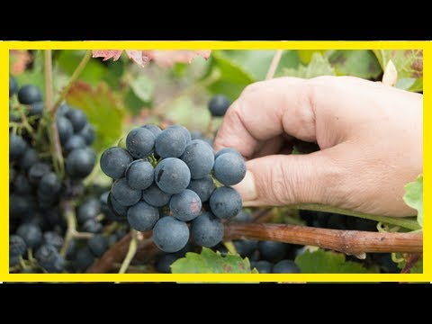 News 24/7-evidence of the oldest vineyards in the world discovered