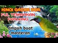 Cucak Kinoi Gacor Rol Panjang  Mp3 - Mp4 Download