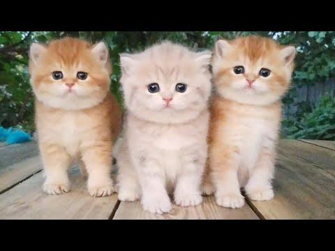 Три маленьких Британских котенка | Возраст 1 месяц