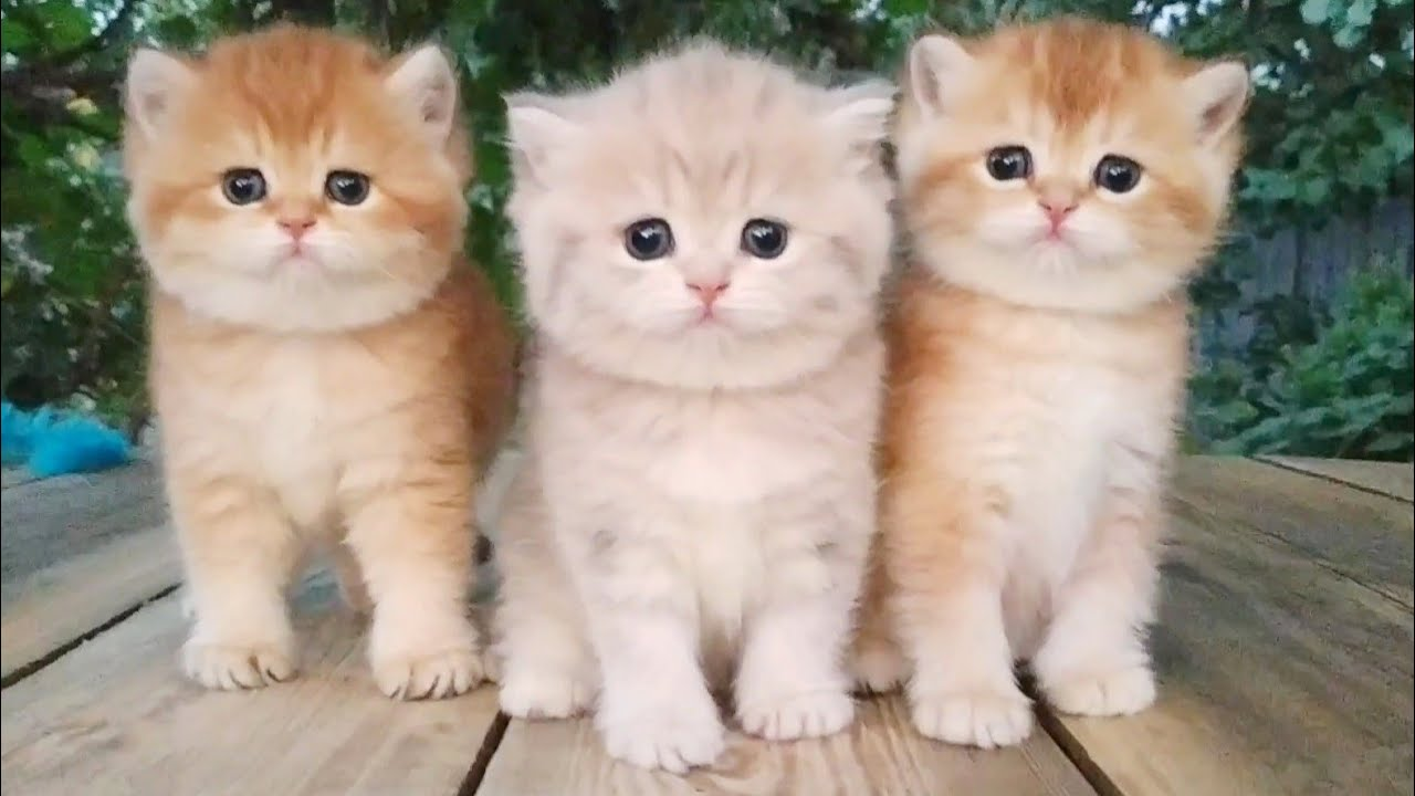 Three little Teddy kittens |  Cutest Baby British kittens