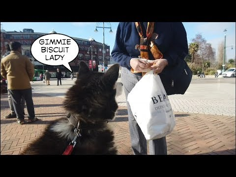 Happy Husky talks to strangers and gets given biscuits too