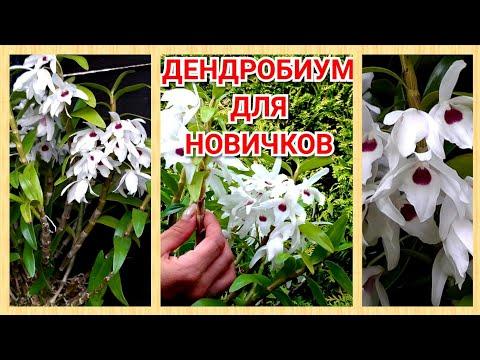 ОРХИДЕЯ ДЕНДРОБИУМ Dendrobium Cassiope, в домашних условиях.