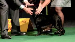 Westminster 2012. Staffordshire Bull Terrier.