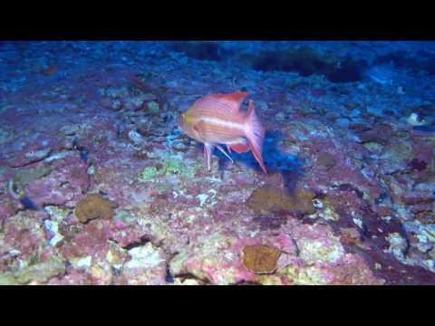 Tosanoides obama habitat (1080p)