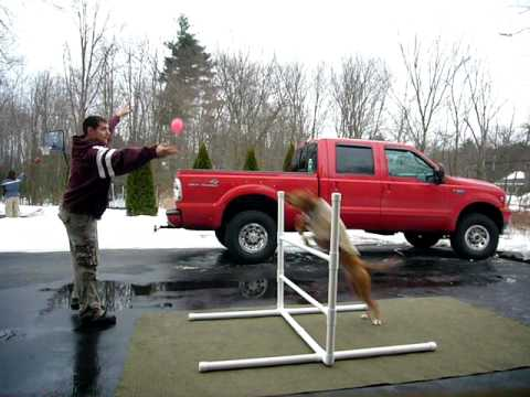 Super Dog Jumps Over A 3ft. Hurdle and Catching A Ball