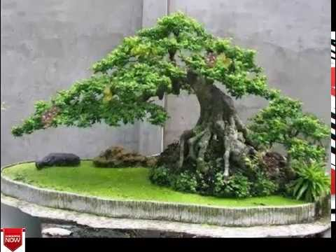 Bonsai tree types images for most expensive bonsai tree - Bonsai zimmerpflanze ...