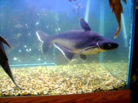 Dead eye our iridescent freshwater shark youtube for Freshwater shark fish