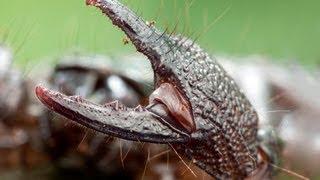 Skorpion CESARSKI na allegro RARYTAS !!! polecam! Najlepszy skorpion dla początkujących