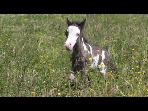 Tiny Horse is Just 18 Inches Tall