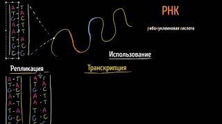 Репликация ДНК, транскрипция и трансляция РНК (видео 13)  | Макромолекулы | Биология