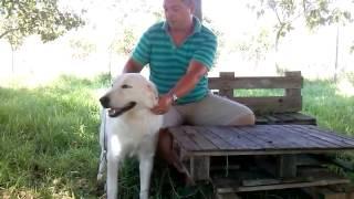 Λευκό Ελληνικό Τσοπανόσκυλο (Λ.Ε.Τ) ΙΔΙΑΙΤΕΡΑ ΧΑΡΑΚΤΗΡΙΣΤΙΚΑ