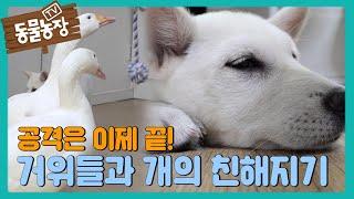 공격은 이제 그만~ 거위들과 개들의 친해지기 프로젝트★ I TV동물농장 (Animal Farm) | SBS …
