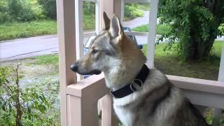 Czechoslovakian Wolfdog Dog & Puppies information Video - Animal Videos