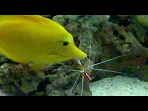 El gobio del coral amarillo (Gobiodon okinawae) Ficha Técnicaиз YouTube · Длительность: 9 мин53 с