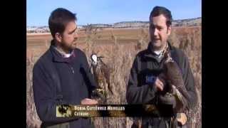 Caza de urracas con halcones documental Caza y Pesca 2012