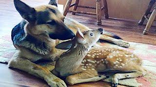 子鹿の看護をするシェパード犬。衰弱した鹿に寄り添うけなげな姿に心温まる【感動】 生きがいを見つけると人は変わります。 生きる喜びに満...