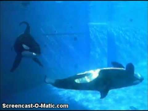Killer whales in captivity vs wild - photo#44