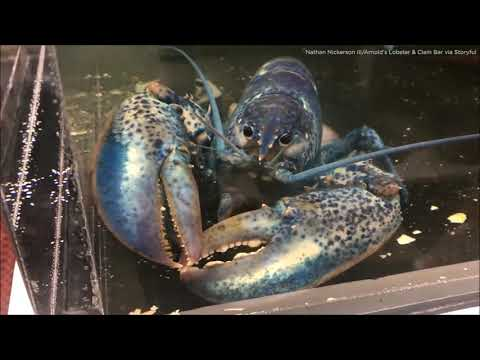 Bama, Rob & Heather - C'mon Get Happy: Blue Lobster Gets New Home In St. Louis! Go Blues!