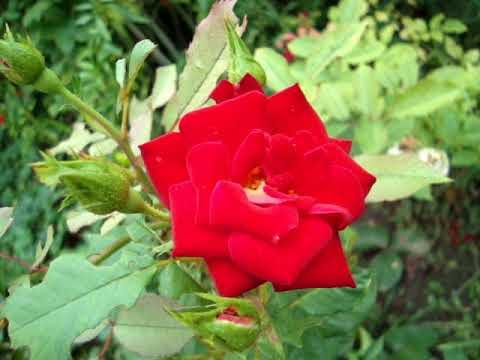 Вьющаяся роза скарлет лучшая роза для сада