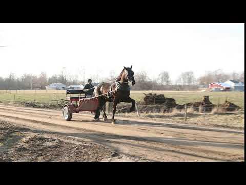 Lot 445 Topeka Draft Horse Sale