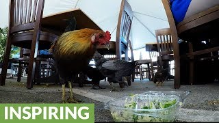 Customers share salad leftovers with chickens in outdoor restaurant