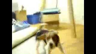 Beagle Puppy Dances Around Pyramid With Happy Joy!