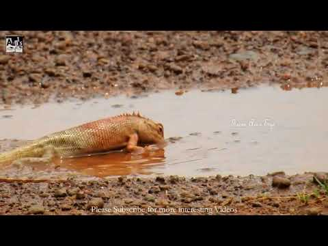 Have you ever seen a Chameleon Bathing