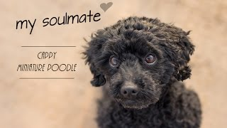 Miniature Poodle Cappy ~ My Soulmate ♥ ~