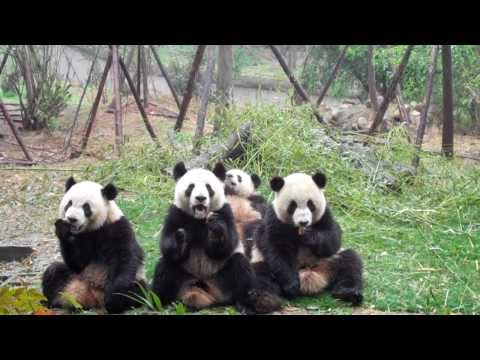 giant panda snack time