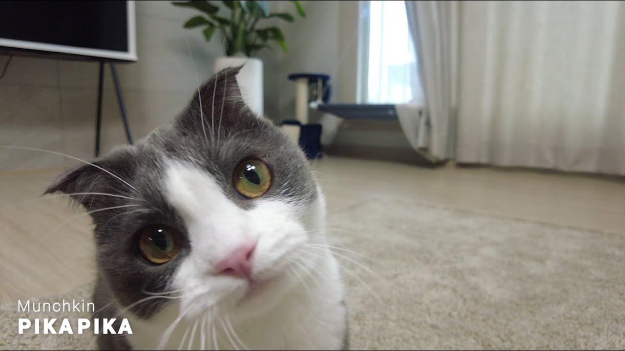 낚시 놀이하는 귀여운 먼치킨 고양이