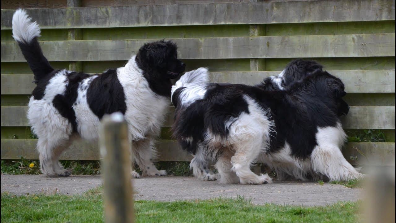 newfie party visiting landseer newfoundland dog sara 39 s breeder youtube. Black Bedroom Furniture Sets. Home Design Ideas