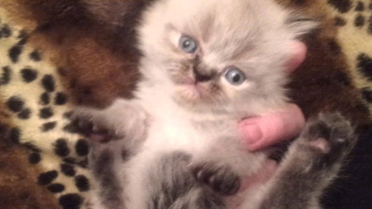 Персидские котята часть вторая :)