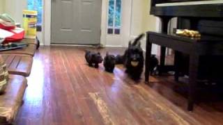 Scottish Terrier Puppies Play Fetch With Mom